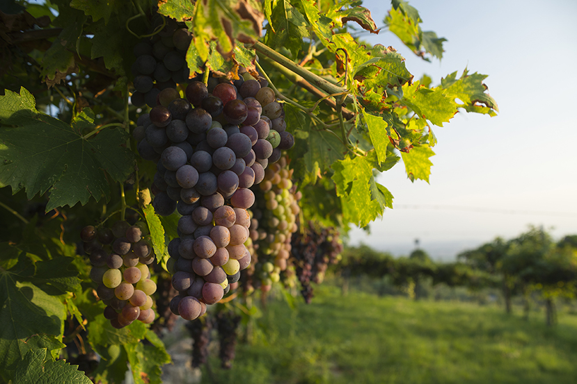 Ripe Corvina Veronese grapes on a vine in a vineyard in the Valpolicella area north of Verona
