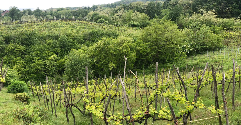 Vineyards in Boca at Le Piane