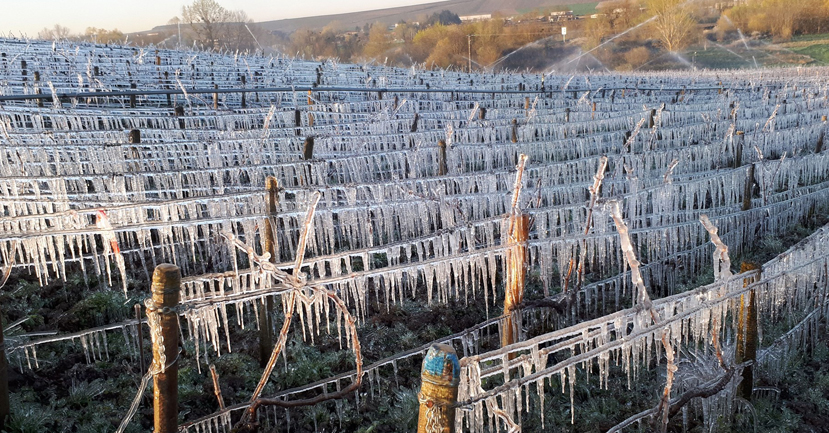 Frost protection: spraying the vines with water to protect the new growth