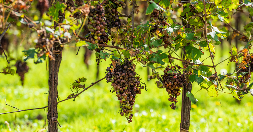 Bunches of grapes rotten because of hail