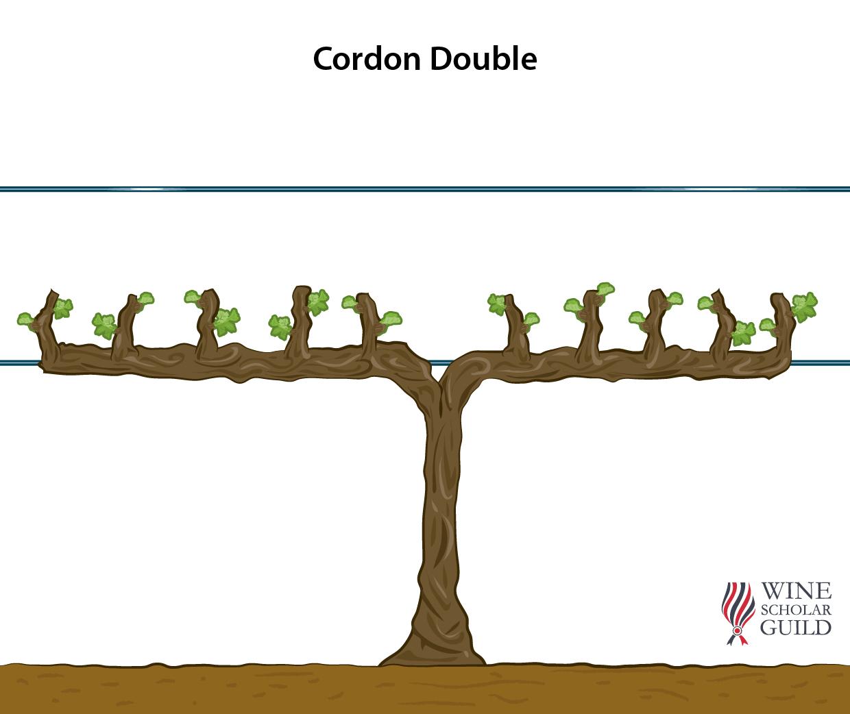 DOUBLE CORDON ©Wine Scholar Guild