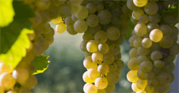 Blog | 5 Trending Italian White Grape Varieties