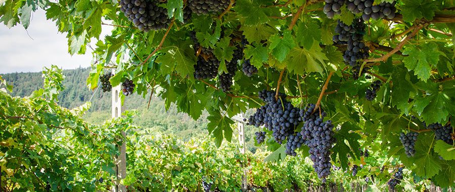 The grapes varieties of Veneto