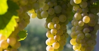 5 Trending Italian White Grape Varieties