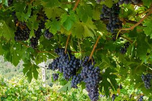 Italian grapes varieties found in Veneto and their flavor profiles