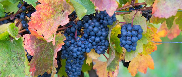 Italian Red Grapes Sangiovese