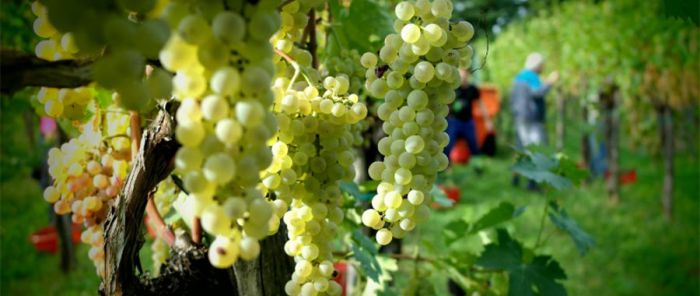 White wines from Friuli's hillsides