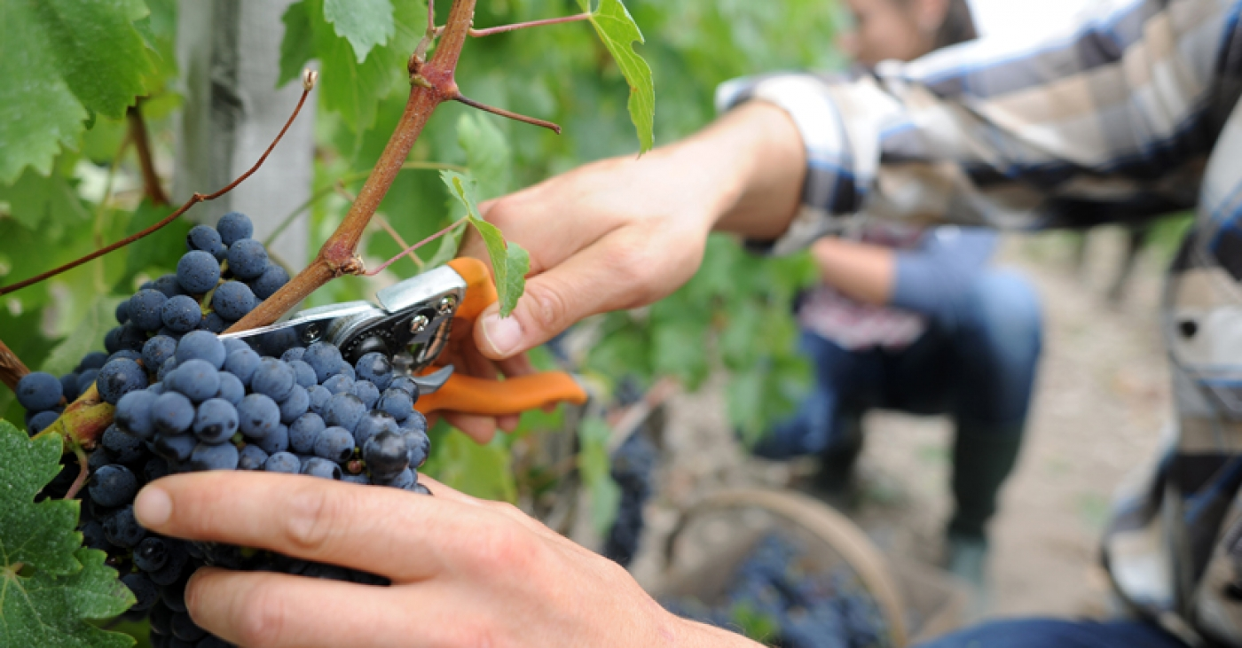 Hot Yet Hopeful: A Quick Look at the 2019 French Wine Harvest