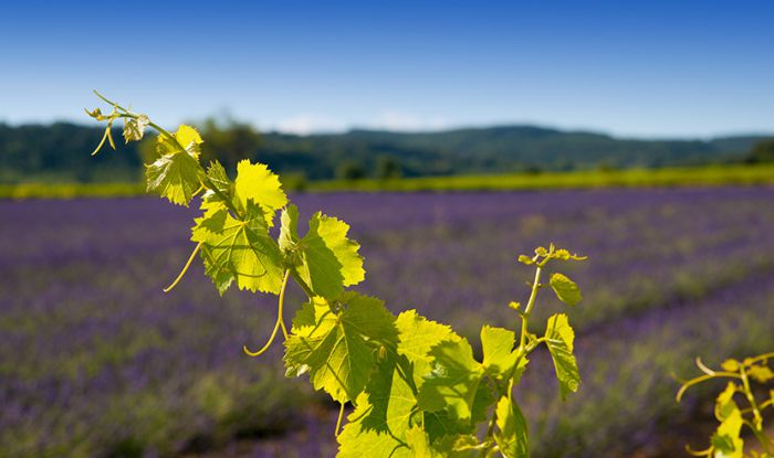 Provence Wine Immersion Study Tour with Elizabeth Gabay MW