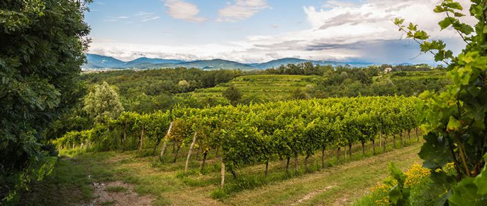 The white blends of Friuli