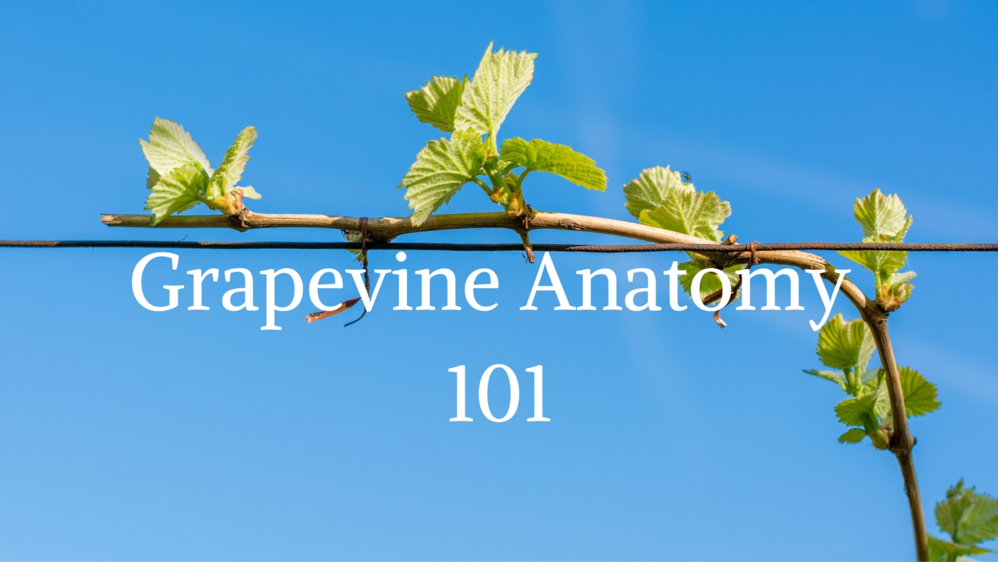 From the Ground Up: Grapevine Anatomy 101 with Nova Cadamatre MW