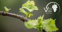 Vine to Wine: A Year of Viti/Vini - May