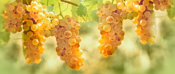 Italian white grape